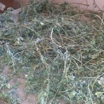 Alfalfa Drying