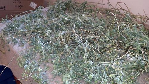 Alfalfa Drying