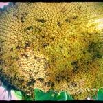 Sunflower Head Before Harvest