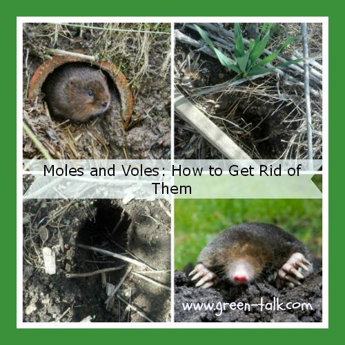 Voles Moles How To Get Rid Of Them Green Talk
