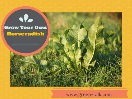 Growing and Harvesting Horseradish