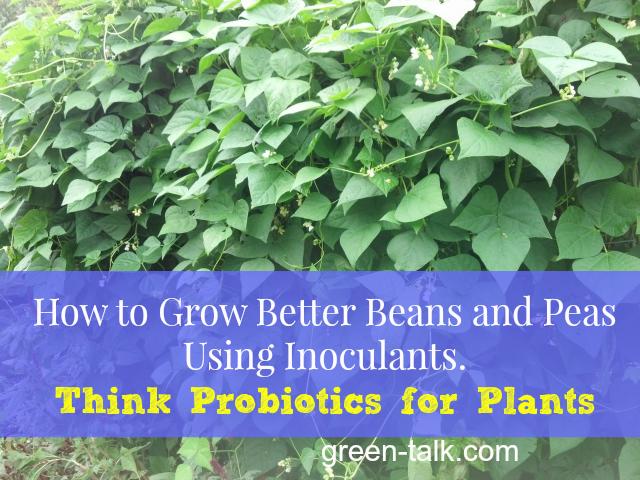 Using bean inoculant
