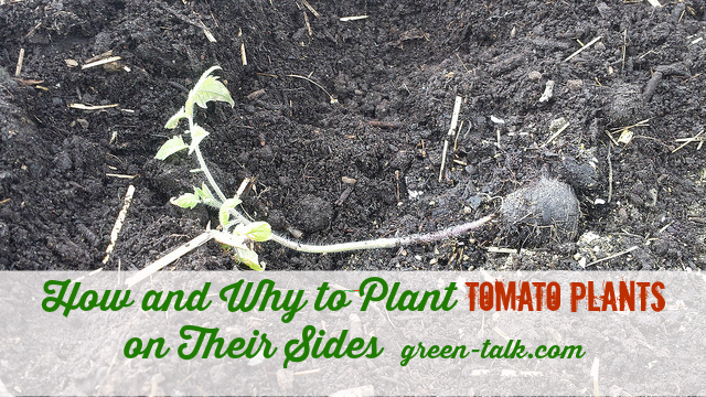 How to Plant Tomato Plants on their sides