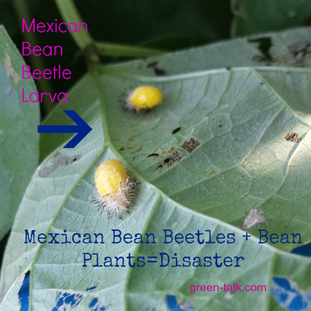 Mexican Bean Beetle Destroy Beans