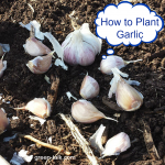 Plant Garlic in the Fall