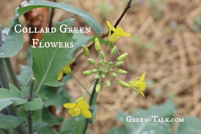 collard green flowers