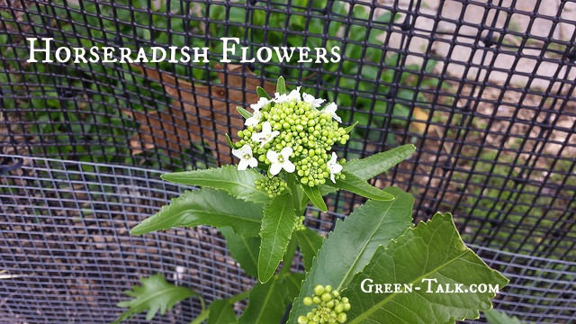 horseradish flowers