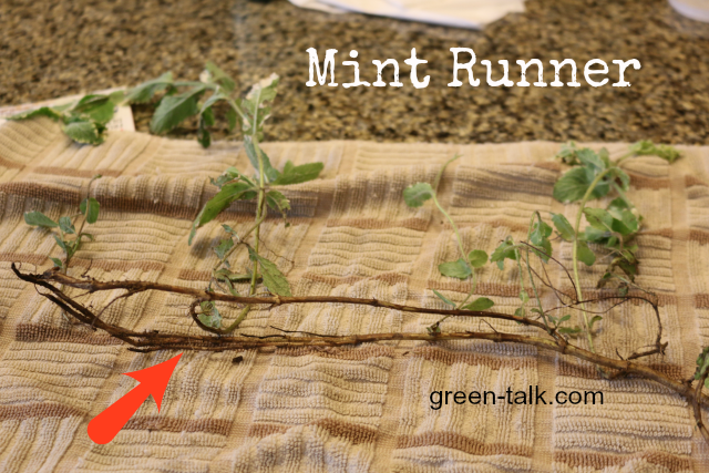 how to plant mint