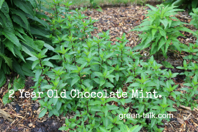 how to plant mint chocolate mint