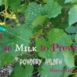 Powdery Mildew Spray with Milk.  Nip it in the Bud.