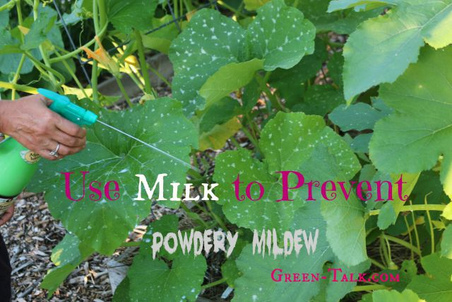 powdery mildew spray with milk