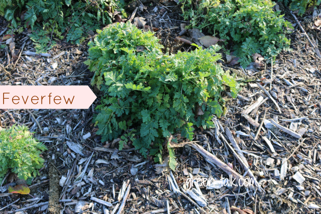 fall garden maintenance feverfew
