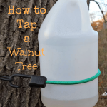 How to tap a walnut tree