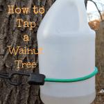 How to Tap a Walnut Tree