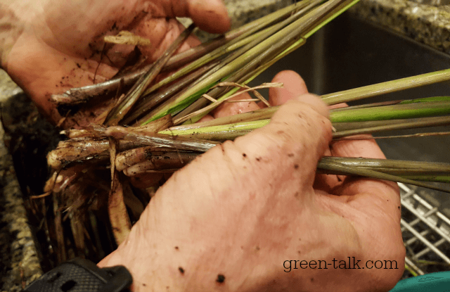 How to Grow Lemongrass