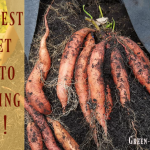 The Best Sweet Potatoes Growing Tips!