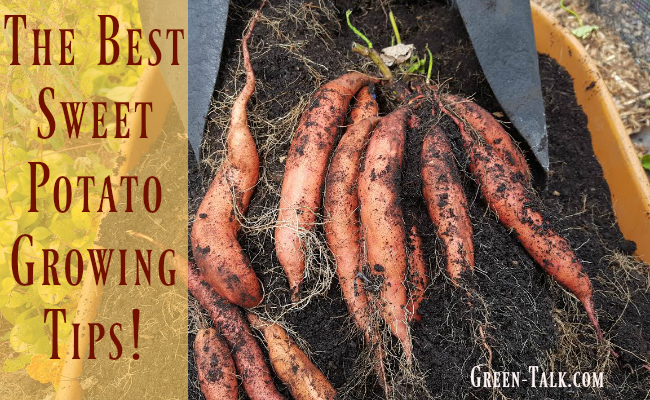 The Best Sweet Potatoes Growing Tips!