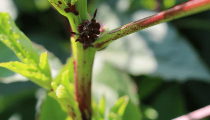 How to Harvest Hibiscus Calyxes