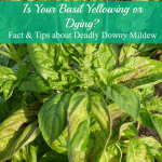 Basil Dying? Turning Yellow?  It May Be Downy Mildew.