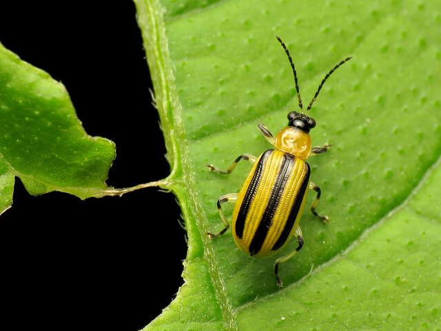 Cucumber Beetle Wilt