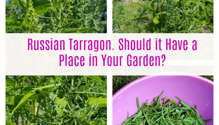 Russian Tarragon.  Should it Have a Place in Your Garden?