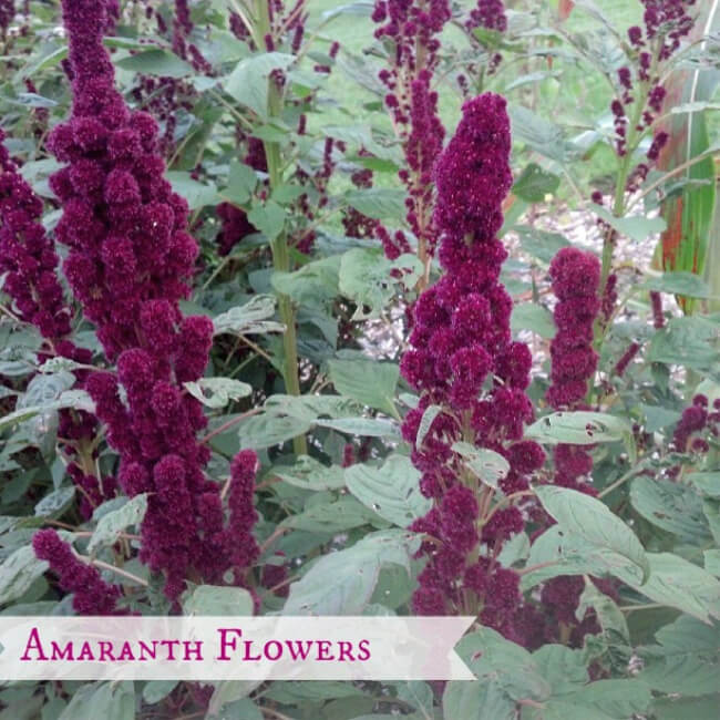 Growing Grains: Amaranth